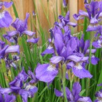 purple bearded iris